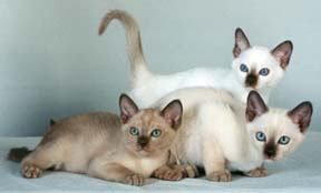 Tonkinese Color