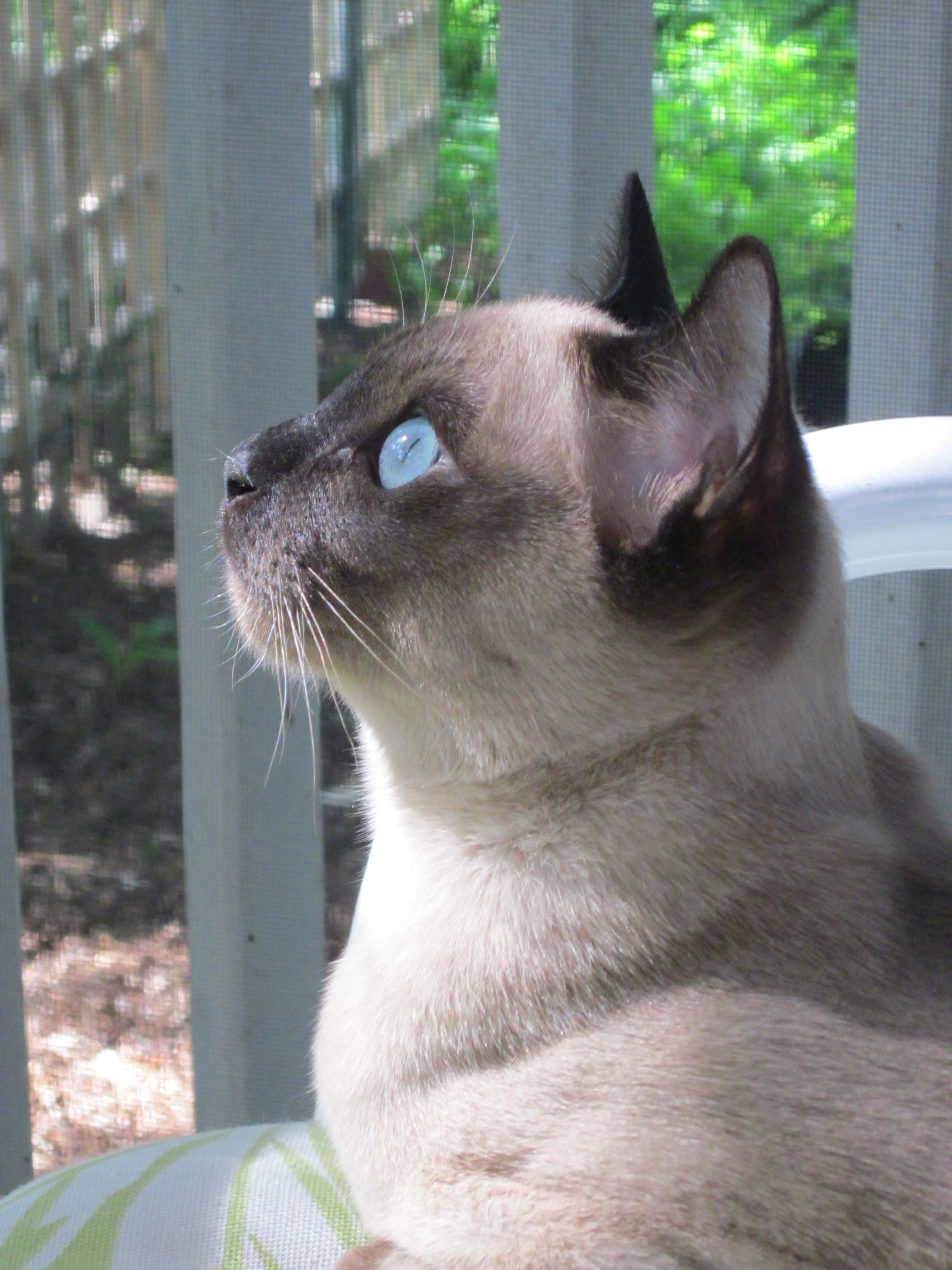 Tonkinese Breed Association Tonkinese Pedigree Cats