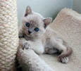 Tonkinese Kitten Photo